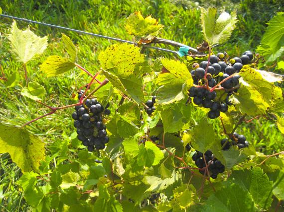 grapeharvesting_003