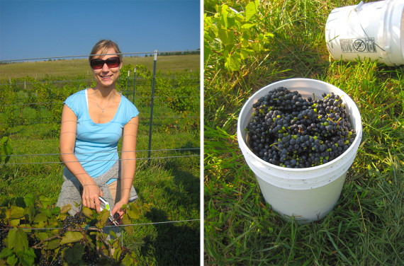 grapeharvesting_004